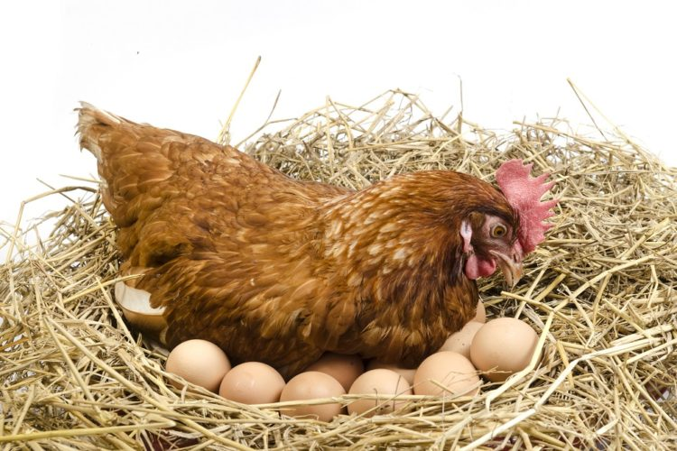 Raise Chickens in a New Backyard Coop